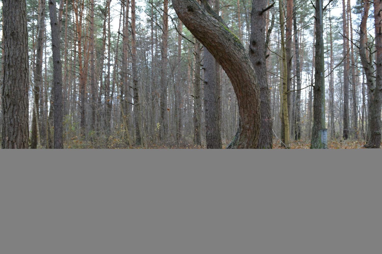 Kreivas medis