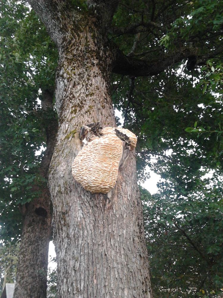 Grybas ant medžio
