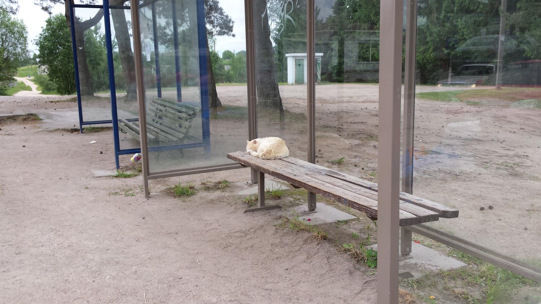 Katinas laukiantis autobuso