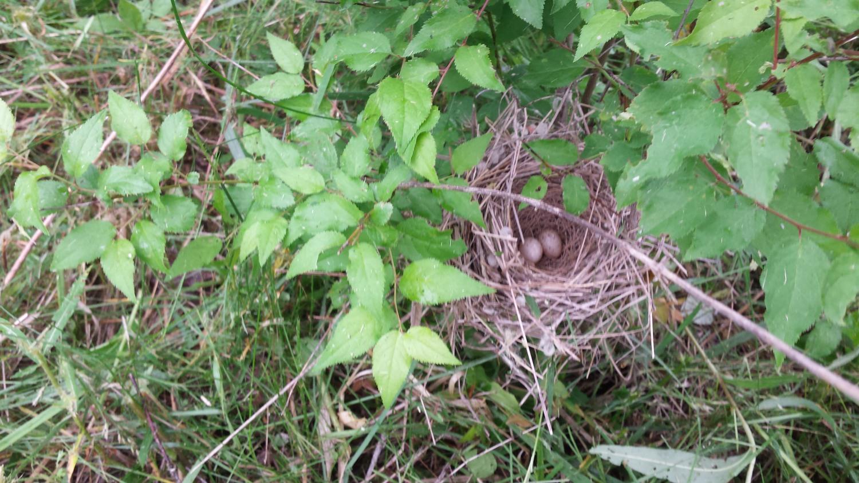 Paukščių lizdas su kiaušiniais