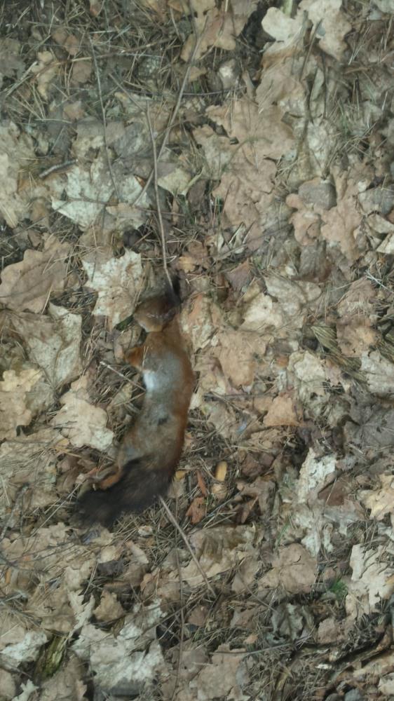 Negyva voverė