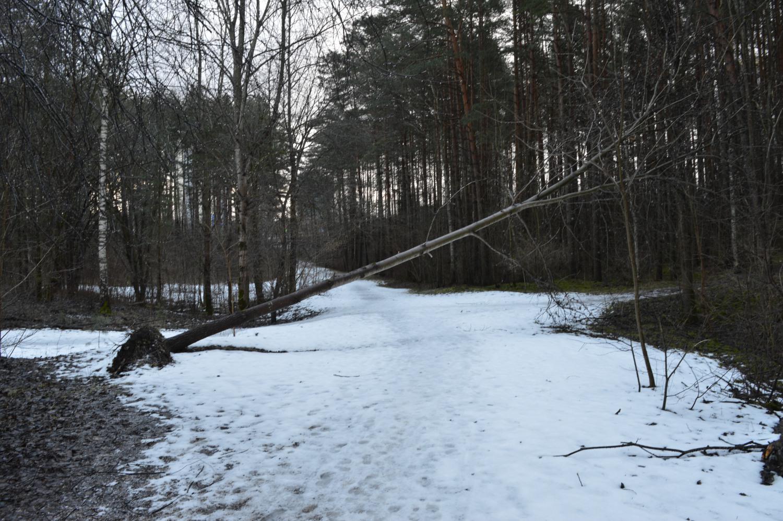 Nuvirtęs medis drebulė