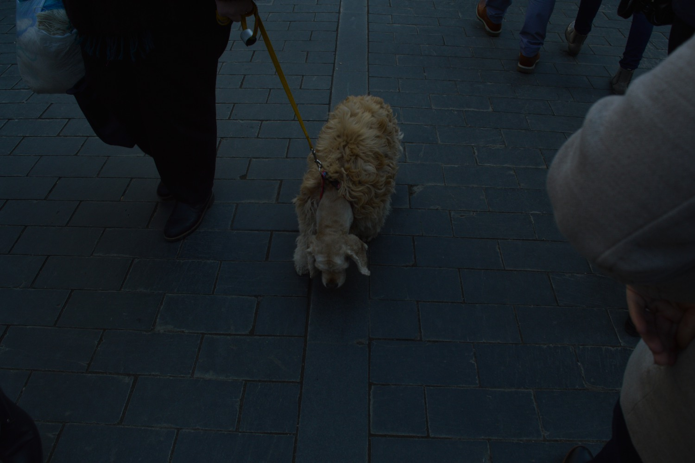 Šuo su šukuosena