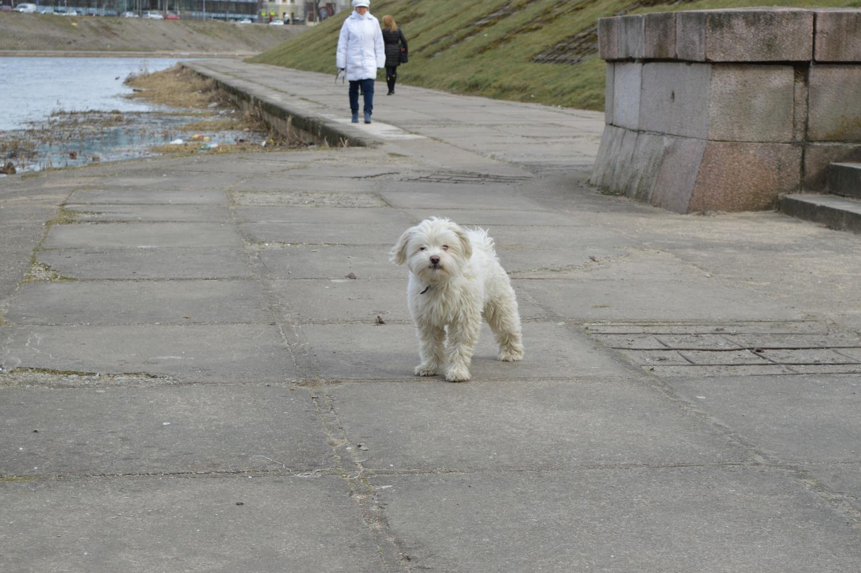 Baltas šuo
