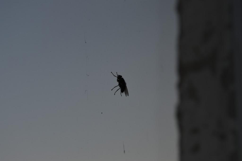 Musė ant lango