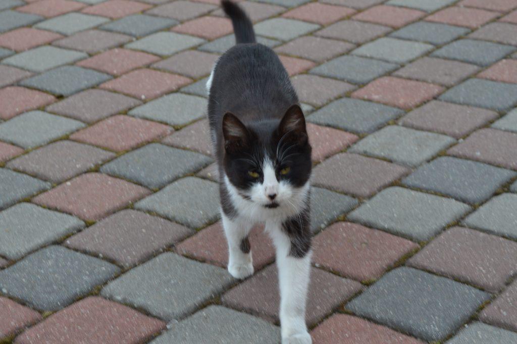 Drasus katinas