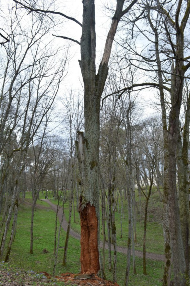 Supuvęs medis