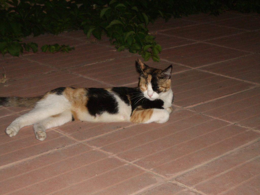 Turkiškas katinas