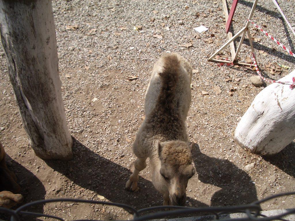 Mažas kupranugaris