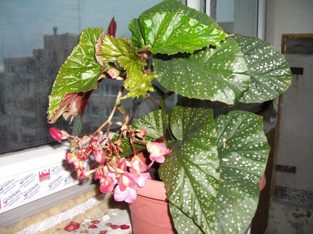 Žydinti kambarinė gėlė