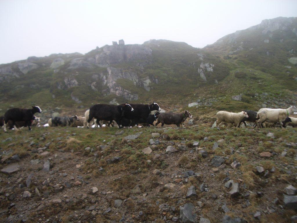 Avys Norvegijoje