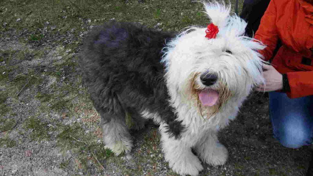 Šuo Bobteilas