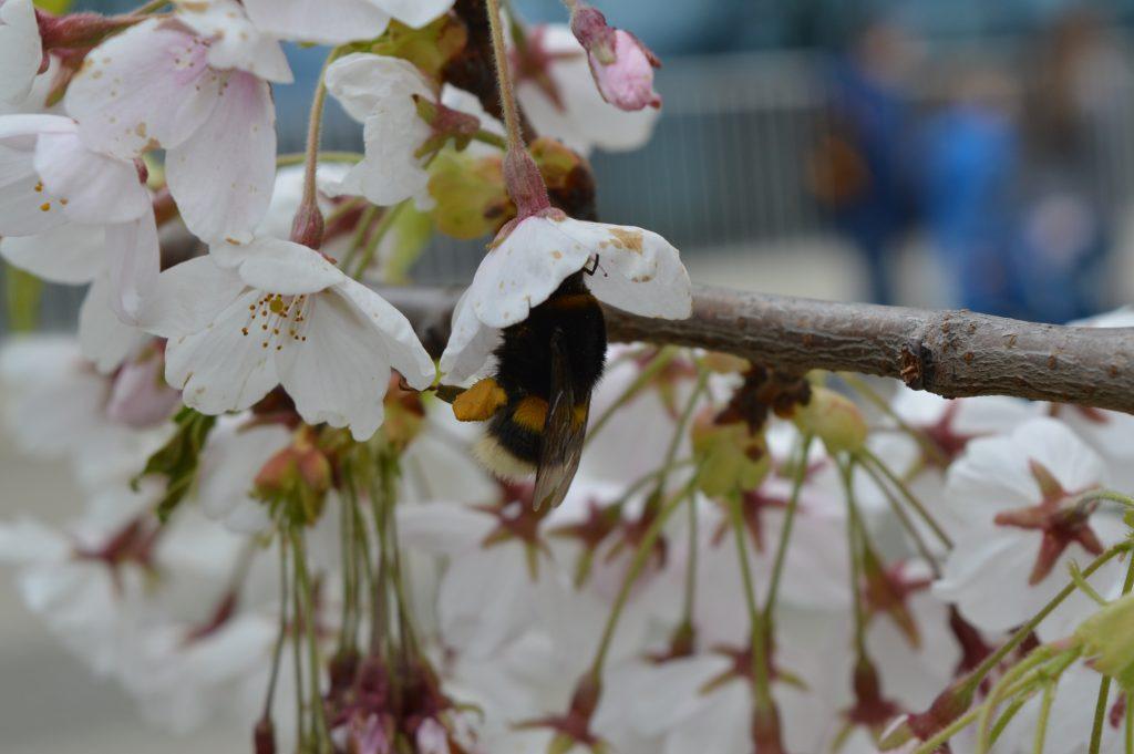 Sakuros dekoratyvinė vyšnia
