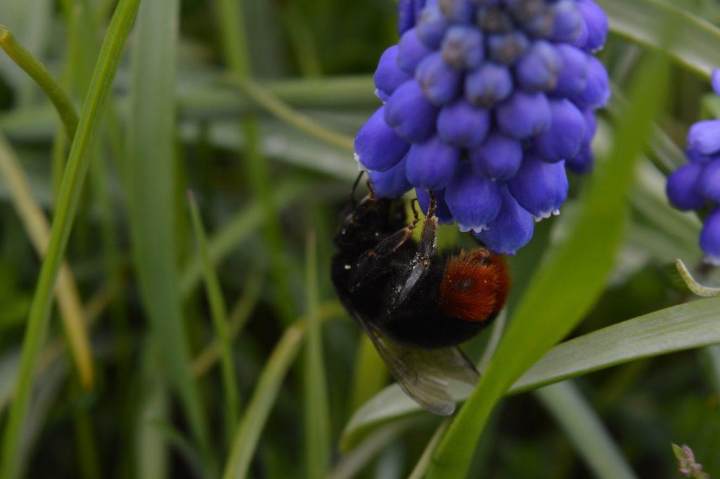 """Kamanės yra mėgiamos sodininkų, kadangi jos apdulkina net tuos augalus, kurių nesugeba apdulkinti bitės, be to, yra atsparesnės šalčiui ir dirba net apniukusiomis dienomis. Egzistuoja """"naminių"""" kamanių laikymas – kamanininkystė."""