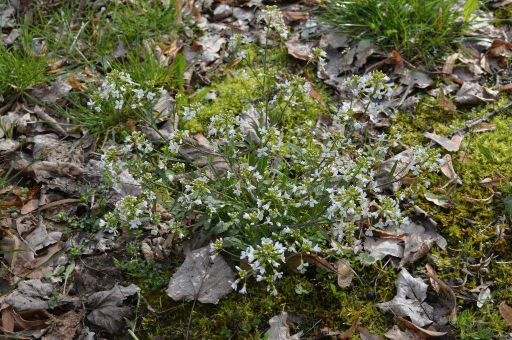 Baltų žiedų lauko gėlė