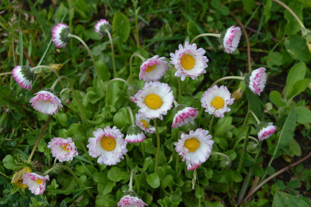 Saulutės gėlės