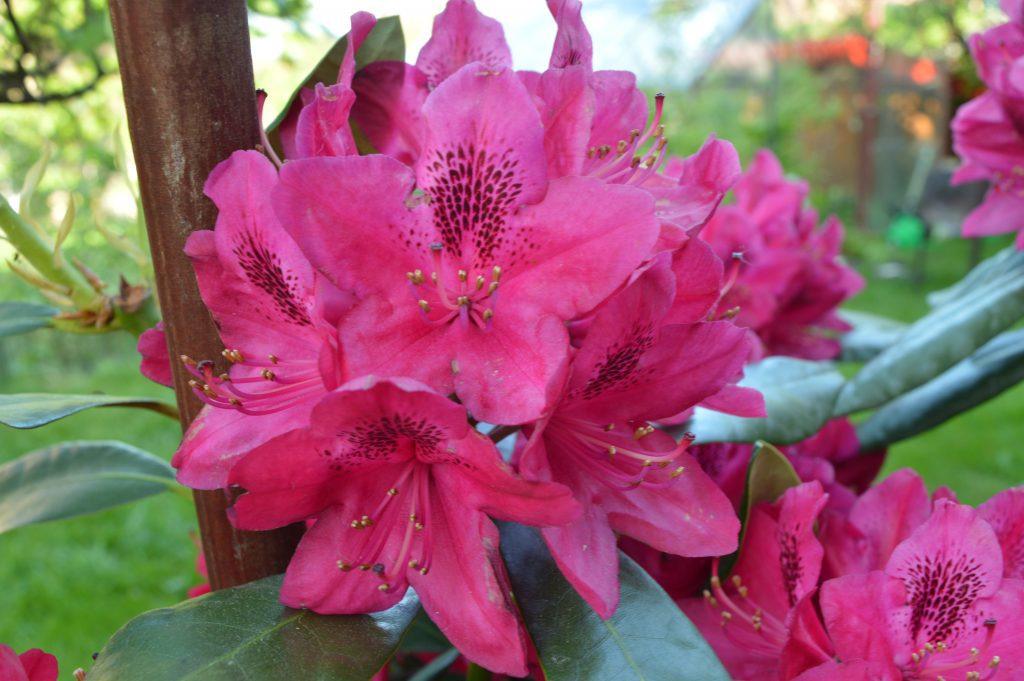Rododendras raudonas