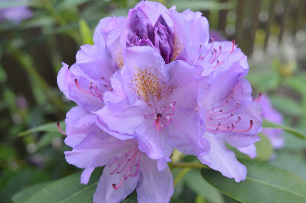 Rododendras violetinis