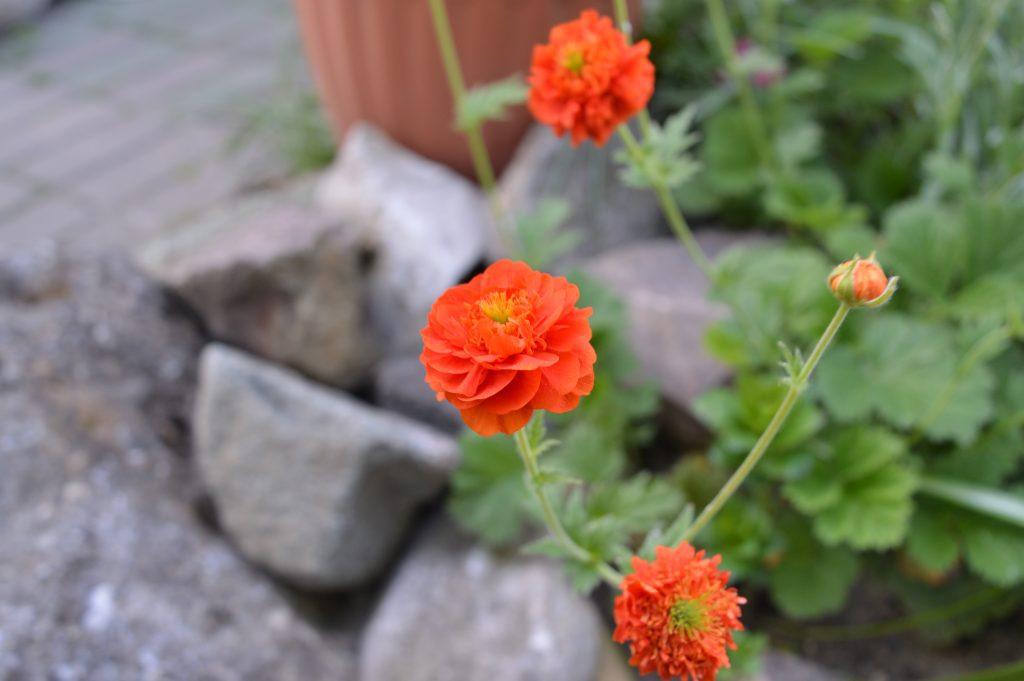 Smulkių žiedlapių raudona gėlė