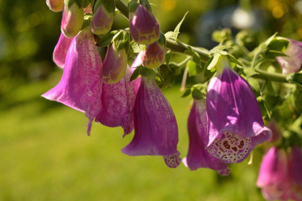 Gėlė varpeliai