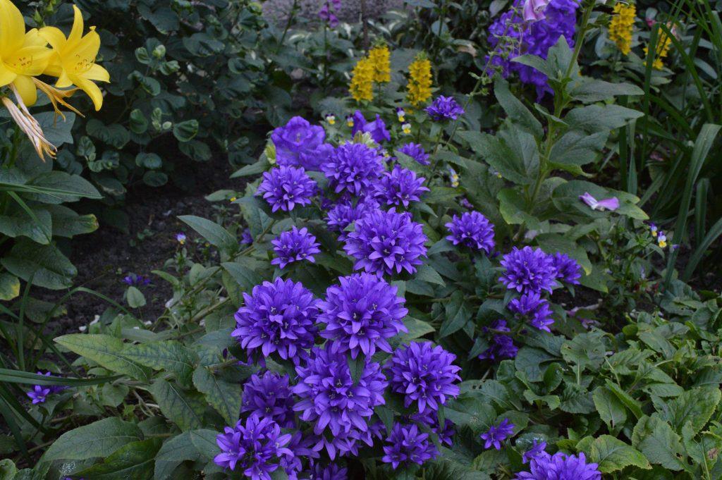 Mėlynos gėlės su dideliai žiedais