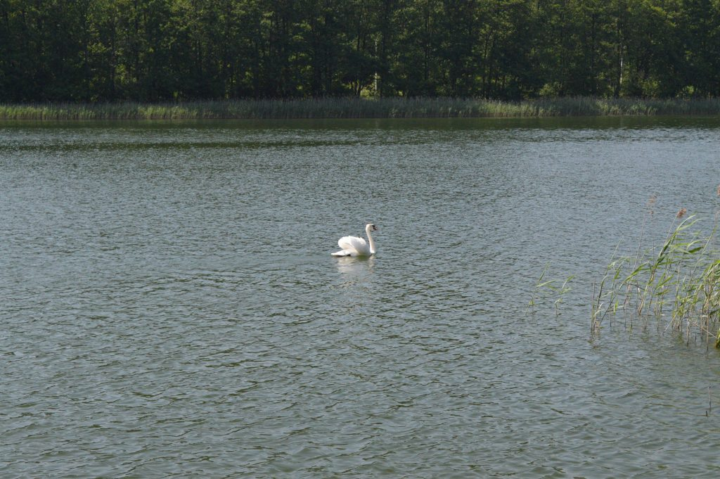Gulbė ežere
