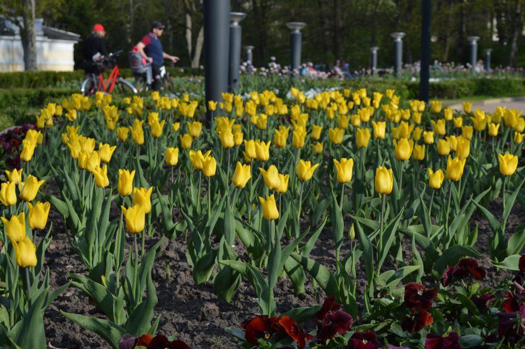 Druskininkų miesto tulpės