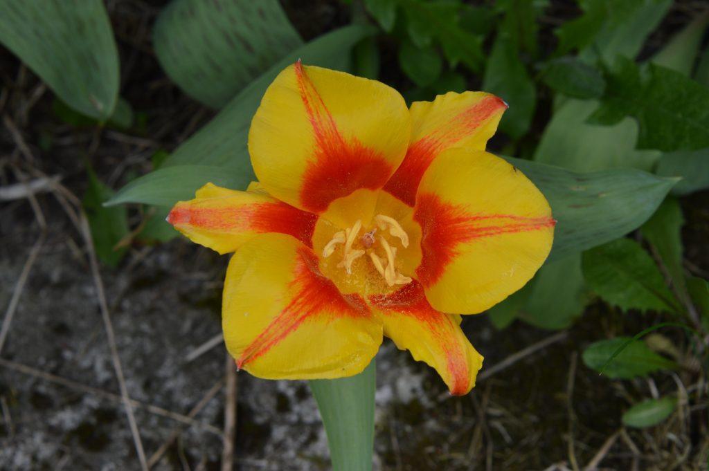 Tulpės žiedas margas