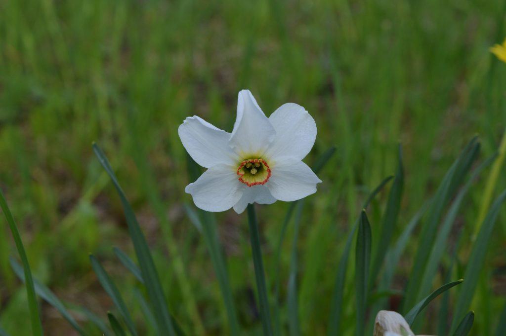 Narcizo žiedas