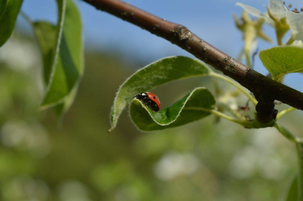 Boružė ant lapo