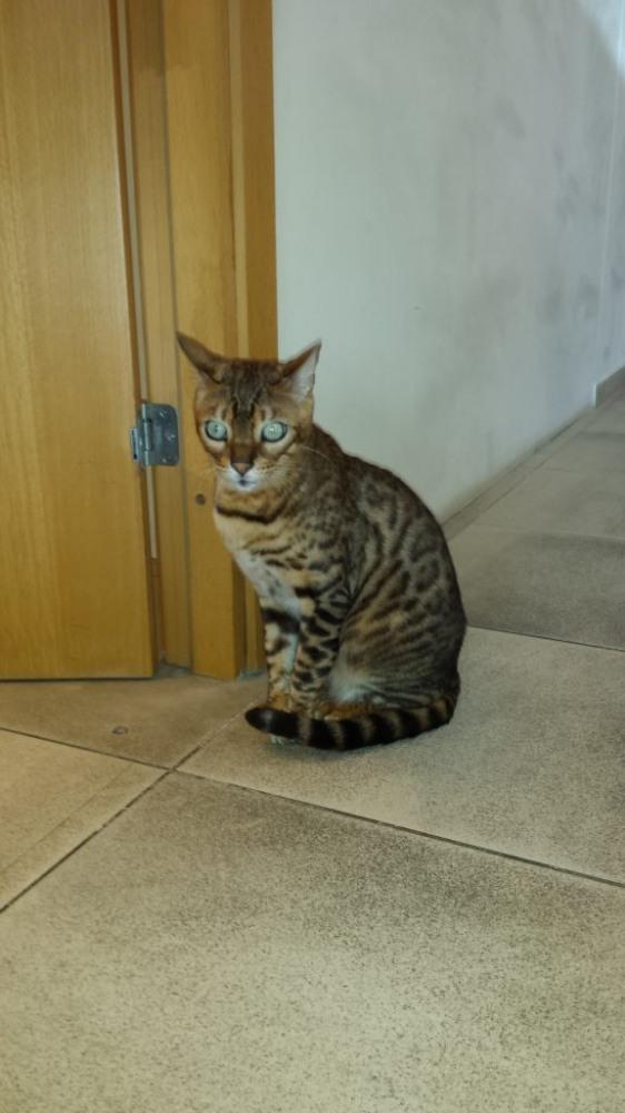 Katinas panašus į leopardą