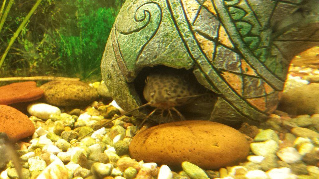 Akvariumo šamas