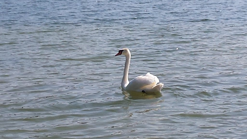 Gulbė arti kranto