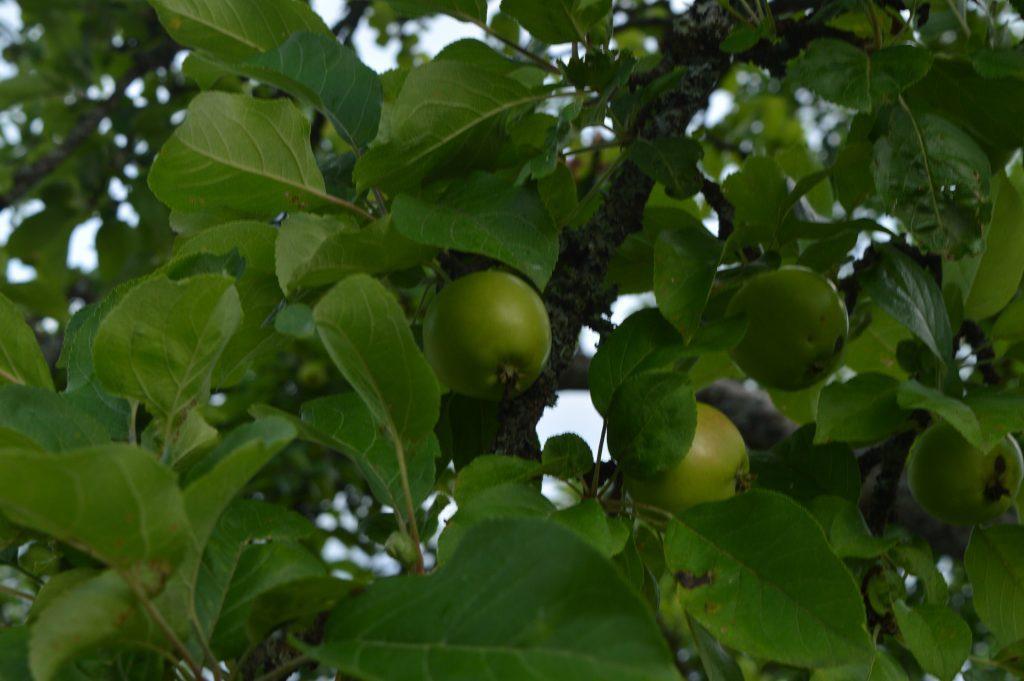 Žali obuoliai