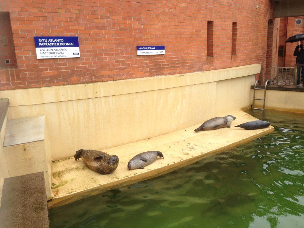 Jūrų kiaulės