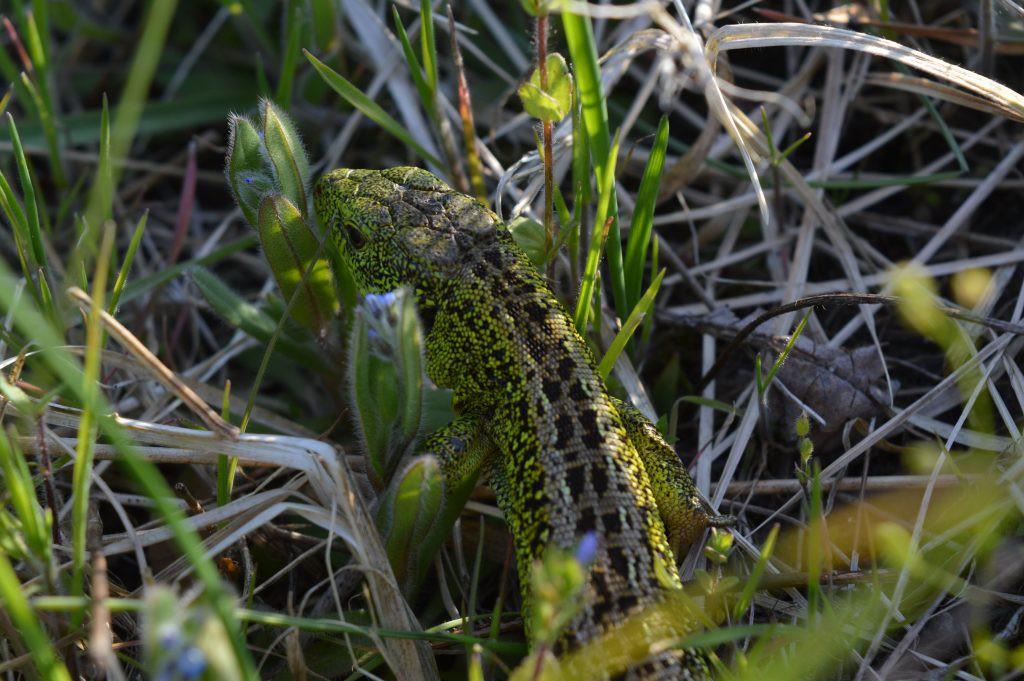 Žalias driežas