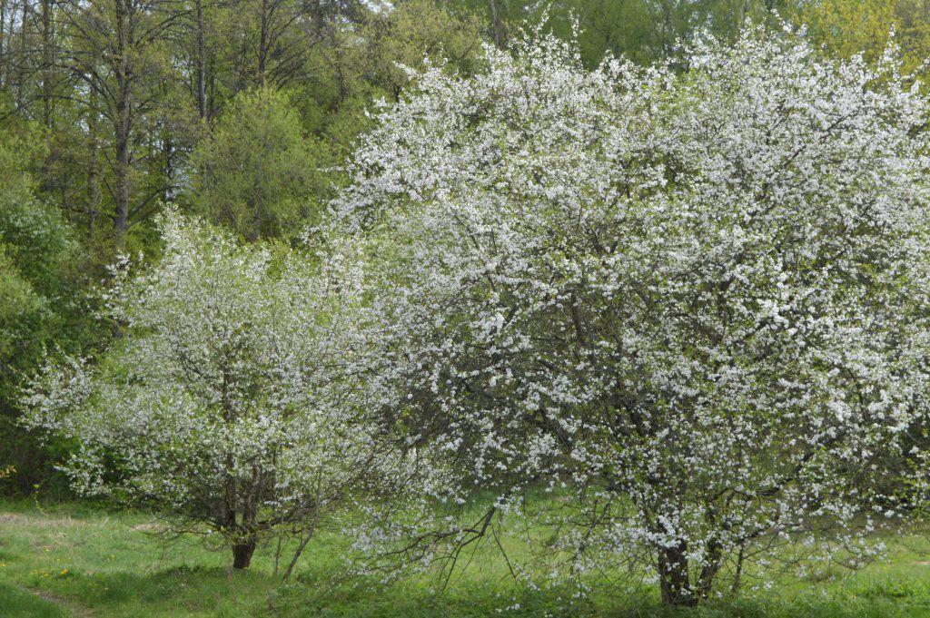 Žydinčios vyšnios