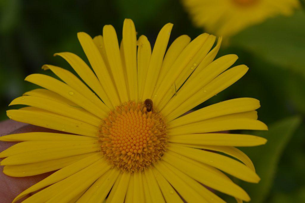Geltona ramunė