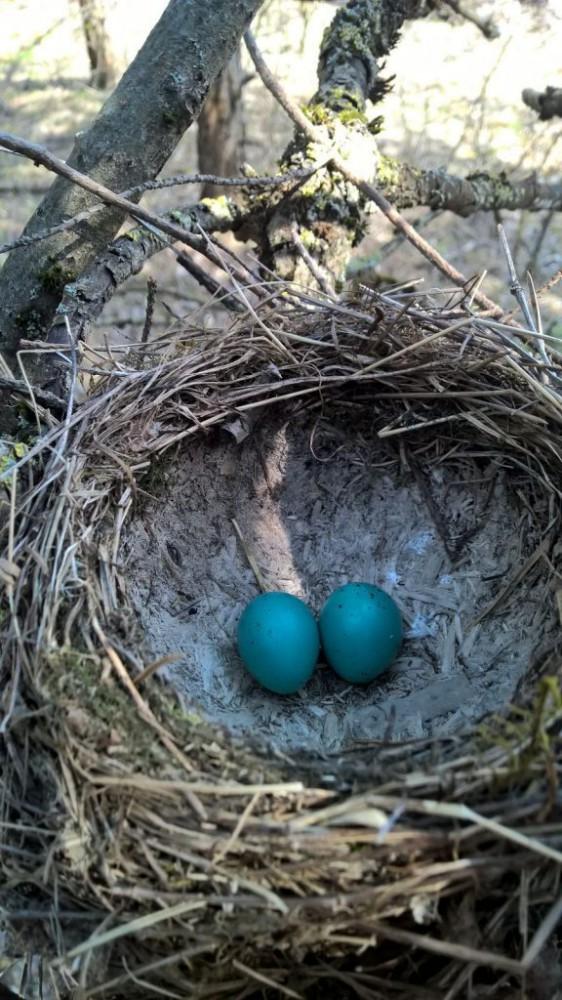 mėlyni kiaušiniai