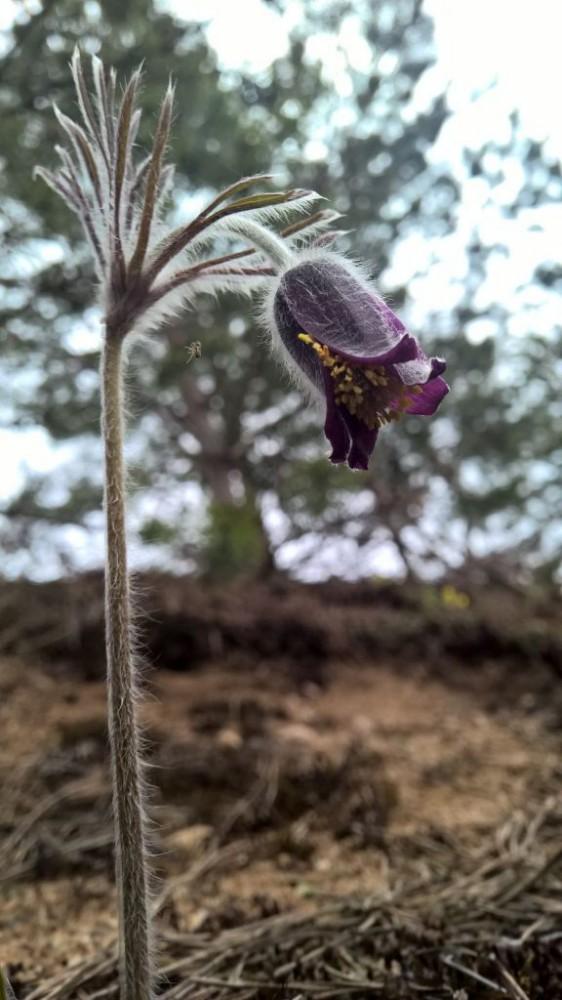 Vilkagėlė violetiniais žiedais