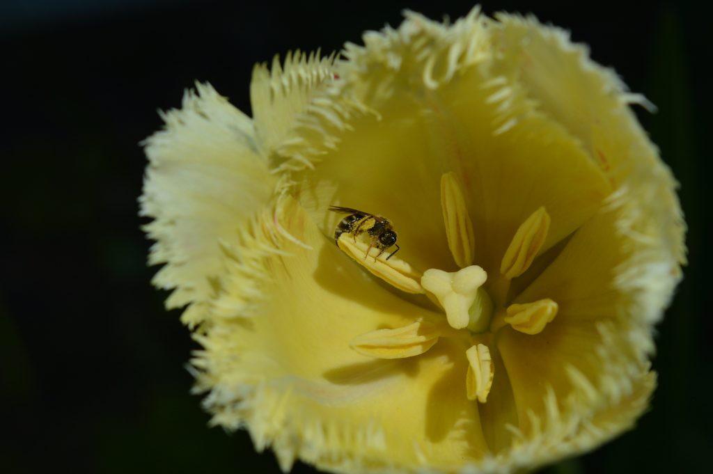 tulpė karpytais žiedo kraštais