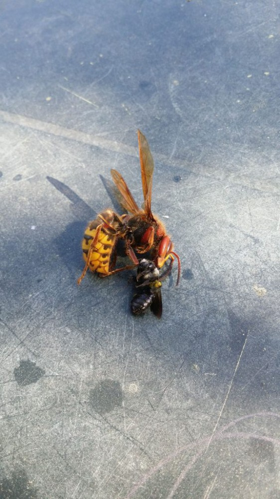 Širšė pagavo bitę