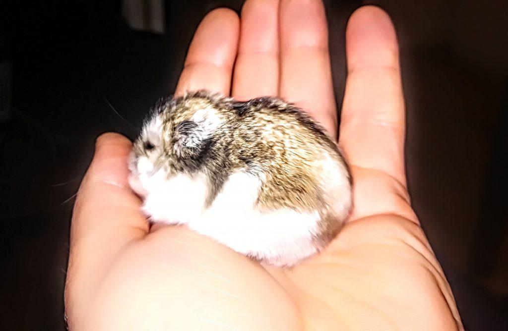 Naminis žiurkėnas