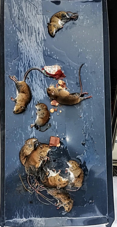 Geriausias būdas gaudyti pele